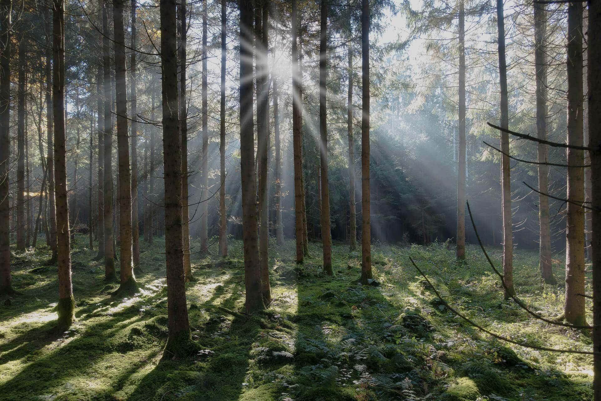 spruce-darker